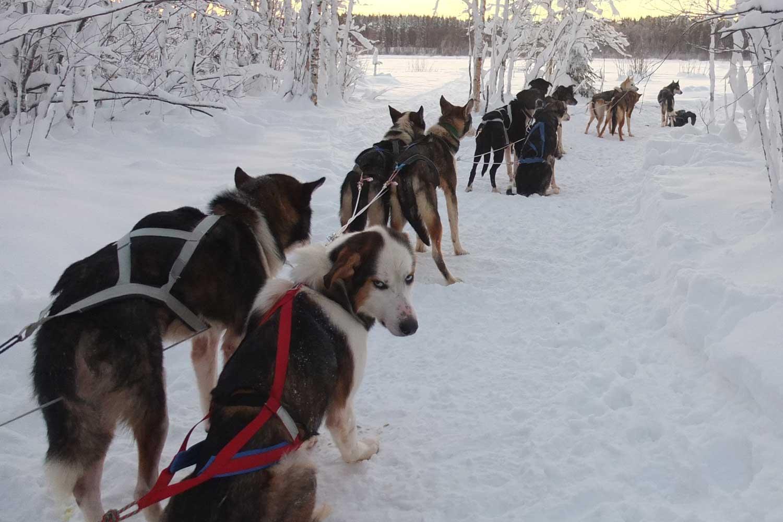 dog sled lulea travel