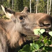 moose-lulea